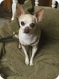 Chihuahua Dog for adoption in Indianapolis, Indiana - Miro