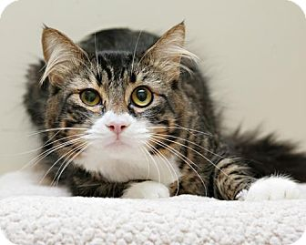 Domestic Mediumhair Cat for adoption in Bellingham, Washington - Roo