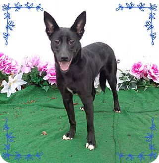 Shepherd (Unknown Type) Mix Dog for adoption in Marietta, Georgia - RANGER