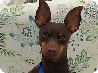 Miniature Pinscher Dog for adoption in Sacramento, California - Kenny