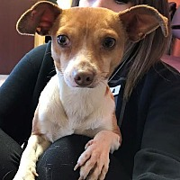 Chihuahua Dog for adoption in Seattle, Washington - Morty Cranson
