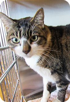 Domestic Shorthair Cat for adoption in Sierra Vista, Arizona - Sheba