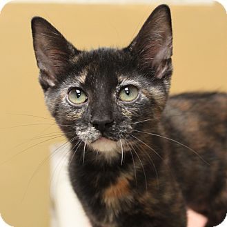 Domestic Shorthair Kitten for adoption in Naperville, Illinois - Fawn