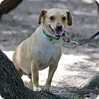 Beagle/Chihuahua Mix Dog for adoption in Seattle, Washington - Peanut