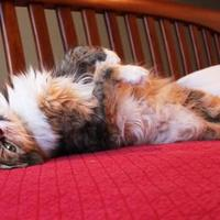 Adopt A Pet :: Bonita - Bellevue, WA