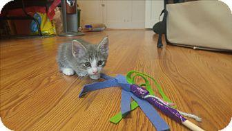 Domestic Shorthair Kitten for adoption in Avon, New York - Higgins
