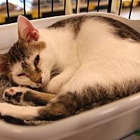 Adopt A Pet :: Little Boy Blue - Rochester, MN