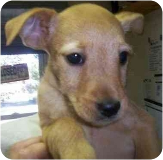 Terrier (Unknown Type, Small)/Yorkie, Yorkshire Terrier Mix Puppy for adoption in Princeton, Indiana - Liberty