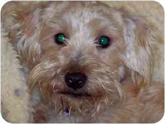 Poodle (Miniature)/Schnauzer (Miniature) Mix Dog for adoption in Smithfield, Virginia - Cous Cous