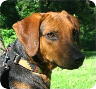 Hound (Unknown Type)/German Shepherd Dog Mix Dog for adoption in Jacksonville, Florida - Meg