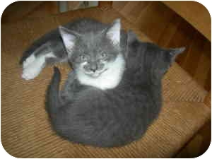 Domestic Shorthair Kitten for adoption in Medford, Massachusetts - Kittens