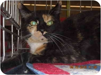 Domestic Shorthair Cat for adoption in Riverside, Rhode Island - Fiona