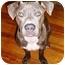 Photo 1 - Pit Bull Terrier Mix Dog for adoption in Boca Raton, Florida - Guapo