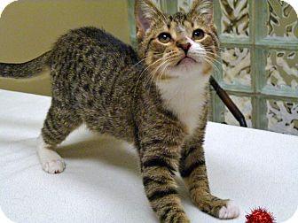 Domestic Shorthair Kitten for adoption in Chicago, Illinois - Shane