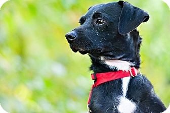Fox Terrier (Wirehaired) Mix Dog for adoption in Houston, Texas - Scrappy
