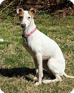Italian Greyhound Dog for adoption in Argyle, Texas - Piper in Dallas/Ft. Worth
