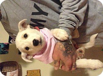 Australian Shepherd/Labrador Retriever Mix Puppy for adoption in Santee, California - Penny two