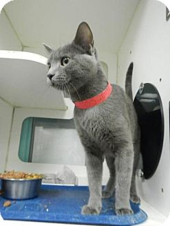 Russian Blue Cat for adoption in East Hanover, New Jersey - Moscow