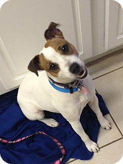 Jack Russell Terrier Dog for adoption in Harrah, Oklahoma - Kennedy