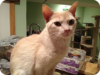 Domestic Shorthair Cat for adoption in East Hanover, New Jersey - Faye