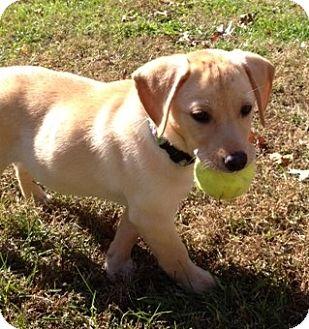 Beagle/Dachshund Mix Dog for adoption in Richmond, Virginia - Nutmeg