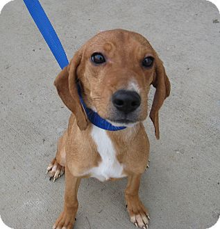Hound (Unknown Type) Mix Puppy for adoption in Florence, Indiana - Harper