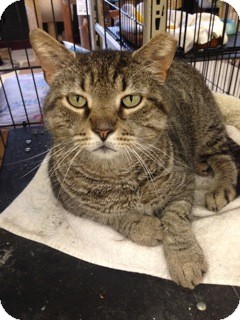 Domestic Shorthair Cat for adoption in Wilmington, Delaware - Popsicle