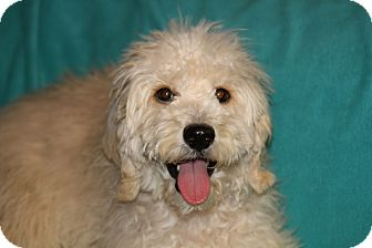 Wheaten Terrier/Poodle (Standard) Mix Puppy for adoption in Phoenix, Arizona - Moe
