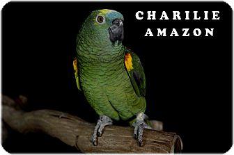 Amazon for adoption in Punta Gorda, Florida - Charlie