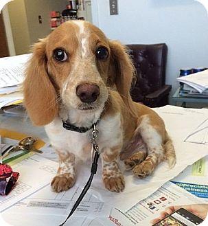Dachshund Dog for adoption in Foster, Rhode Island - Lucky (POM)