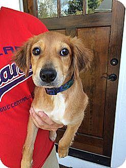 Golden Retriever Mix Puppy for adoption in Salem, New Hampshire - Addie