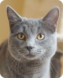 Russian Blue Kitten for adoption in Medford, Massachusetts - Korbin