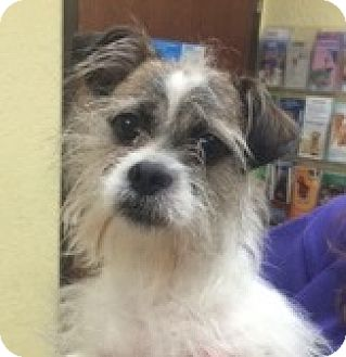 Shih Tzu/Terrier (Unknown Type, Small) Mix Dog for adoption in Fort Wayne, Indiana - CJ