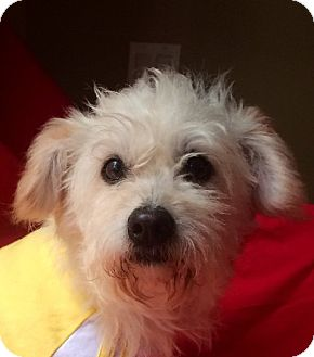 Terrier (Unknown Type, Small)/Poodle (Miniature) Mix Dog for adoption in Irvine, California - TOBY