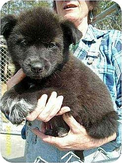 Husky Mix Puppy for adoption in Rutherfordton, North Carolina - Mika