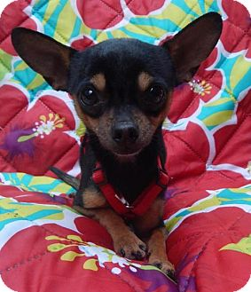 Chihuahua Dog for adoption in Old Fort, North Carolina - PeeWee