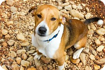 Beagle Mix Dog for adoption in Columbus, Georgia - Beenie 4247