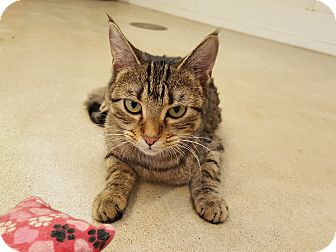 Domestic Shorthair Cat for adoption in Chicago, Illinois - Rey