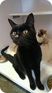 Domestic Shorthair Cat for adoption in Goshen, New York - Sophie