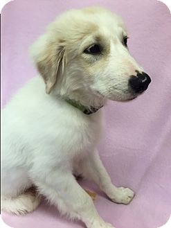 Great Pyrenees Mix Puppy for adoption in Groton, Massachusetts - Jo Jo
