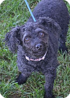 Poodle (Miniature) Mix Dog for adoption in Fruit Heights, Utah - Angel