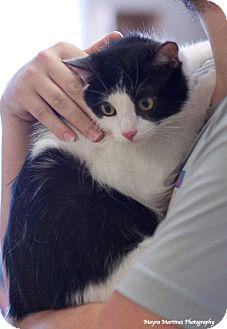 Domestic Shorthair Cat for adoption in Marietta, Georgia - Sophie