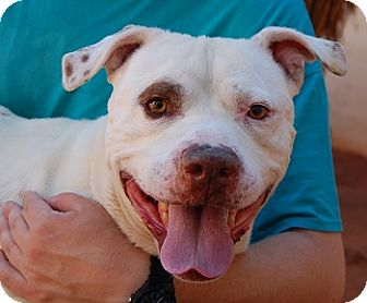 American Bulldog Mix Dog for adoption in Las Vegas, Nevada - Pete