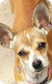 Chihuahua Mix Puppy for adoption in Tijeras, New Mexico - Molly