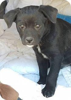 Labrador Retriever Mix Puppy for adoption in Las Vegas, Nevada - Goblin