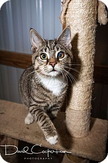 Domestic Shorthair Kitten for adoption in Monterey, Virginia - Moe $35 adoption specail