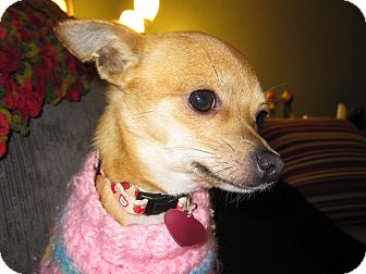 Chihuahua Mix Dog for adoption in Vacaville, California - Cleo