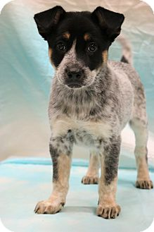 Australian Shepherd/Great Dane Mix Puppy for adoption in Southington, Connecticut - Willow