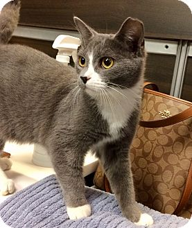 Domestic Shorthair Cat for adoption in Hendersonville, North Carolina - Duffy