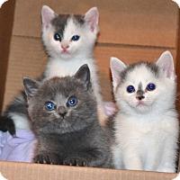Adopt A Pet :: Three female kittens - Albemarle, NC